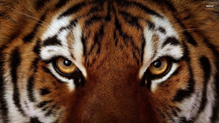 tiger-eye-8