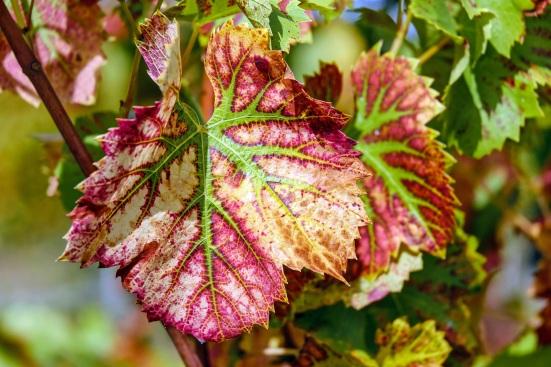 wine-leaf-1720133